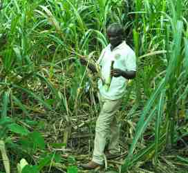 Kofi walking through crops harvesting by hand