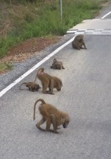 Baboons taking advantage of the spilt millet