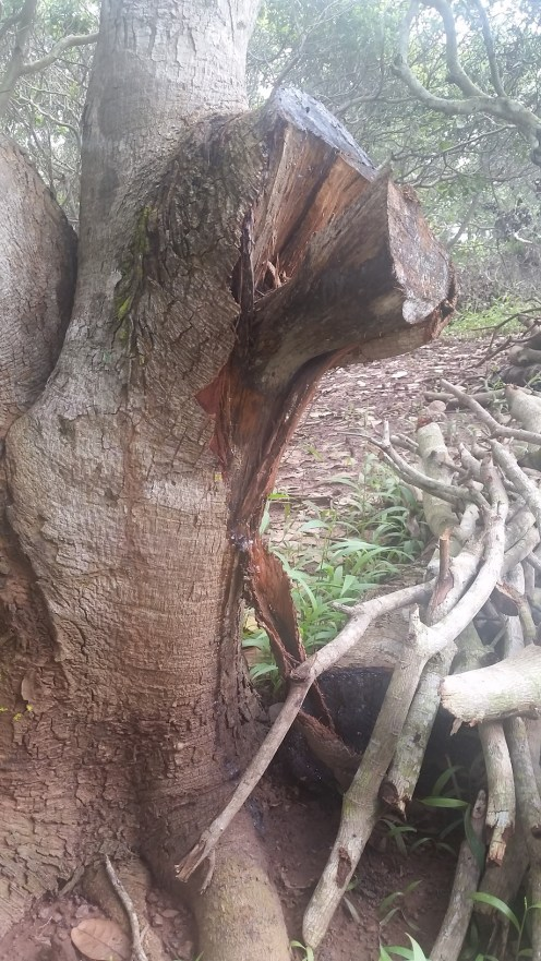 A badly pruned tree. See the bark has stripped and the stump is cracked. It will take longer to heal and is more prone to infection.