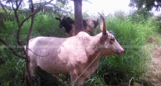 Man caught having sex with a cow