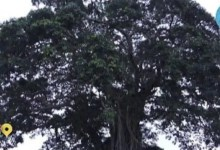 The tree that turns human at night to guard his people
