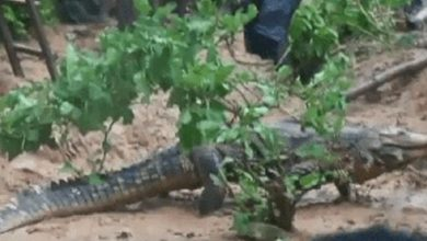 Fumso residents live in fear as strange crocodiles invade community