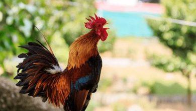 Bird Flu hits Accra, Central and Volta Regions