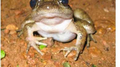 A newly discovered critically endangered frog species found nowhere else in the world beyond the Atewa Range