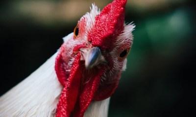Chicken flu
