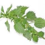 Крапива-одно из самых богатых кальцием растений.