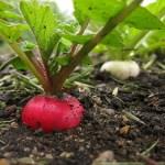 Как посадить редис. Это надо знать.