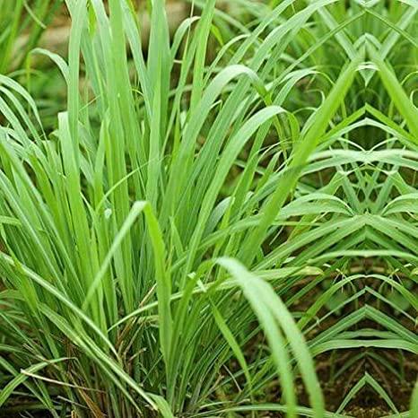 green tea grass