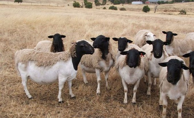 Man paraded for allegedly sleeping with sheep