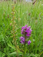 Common Twayblade with Northern Marsh Orchid