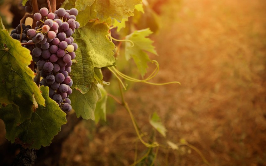 Grape Cluster Vine Sunny Day Wide Hd Wallpaper Is A Lovely