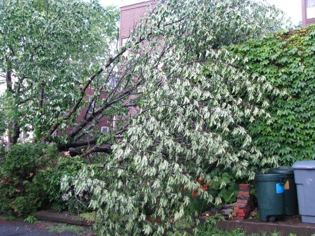 fallen Cherry Tree caressing Garage 15June2009