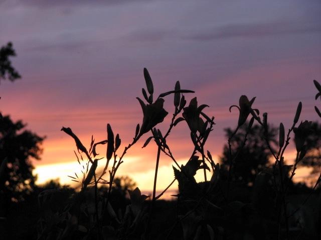 daylily sunset cameo 12July09