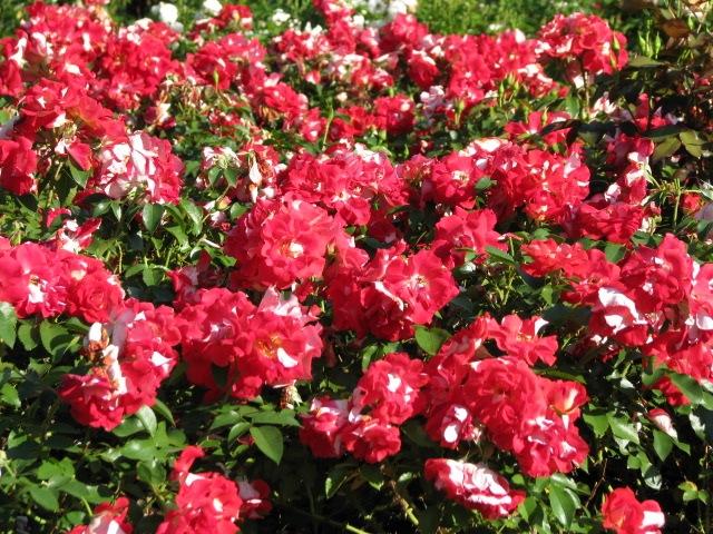 red display - Schenectady Rose Garden display 03Aug09