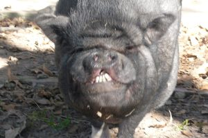"Petey, ""Sweet Pete"" the potbelly pig"