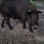 wild boar rescue on the sanctuary