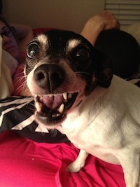 Freckles, our rat terrier, being nasty