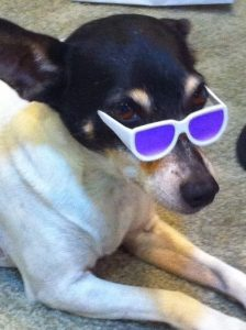 Freckles, our rat terrier, being cool