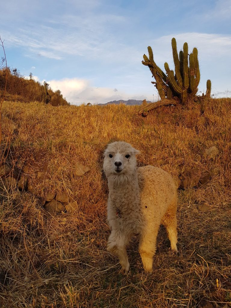 alpaca chivay