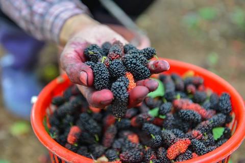 Trái dâu chín chuyển dần từ màu đỏ sang đen, mọng nước. Chất lượng quả phụ thuộc nhiều vào thời tiết. Nếu được trời nắng thì vị của quả cũng chuyển dần từ chua thanh sang ngọt sắc.