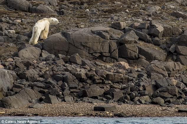 Sự thực về đoạn video chú gấu trắng Bắc cực gầy trơ xương lê bước kiếm ăn vì quá đói - Ảnh 5.