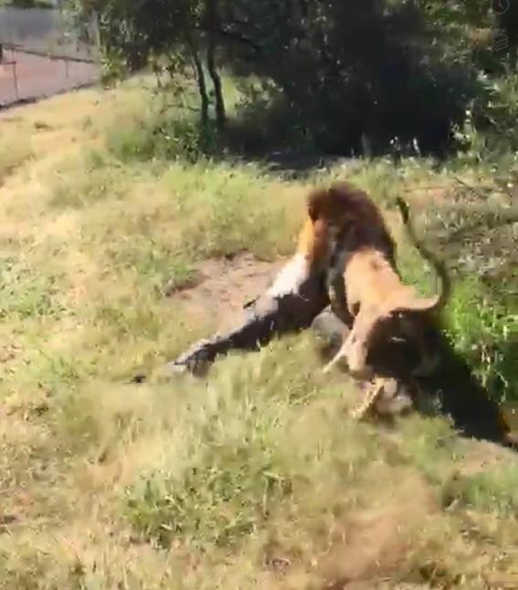 Kinh hoàng cảnh sư tử ngoạm người chủ lôi đi - Ảnh 2.