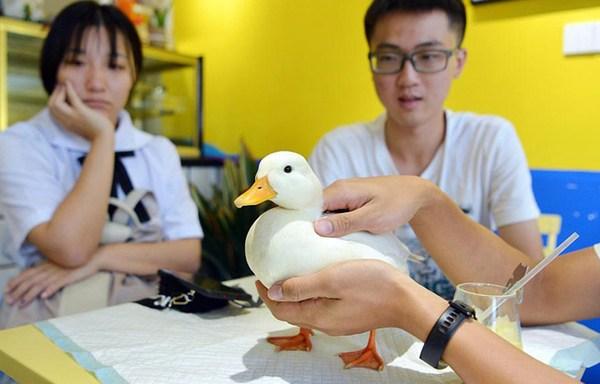 Trào lưu nuôi vịt của giới trẻ Trung Quốc