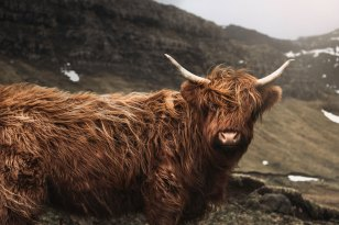 Mucca-higlands