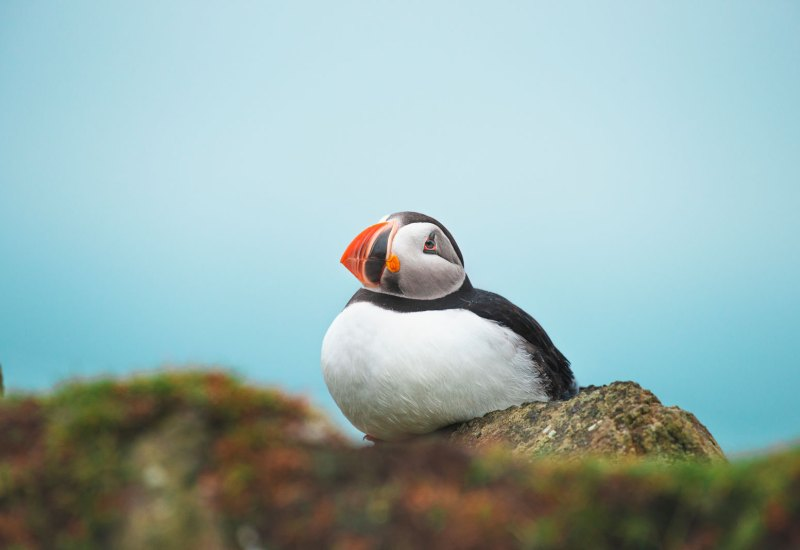 Puffin_mykines_estate