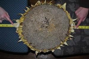 Giant Gardening  Article: Measuring Sunflower Heads