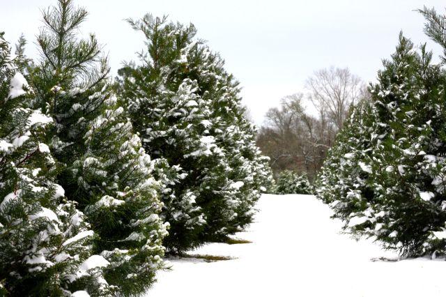 https://i2.wp.com/giantsandpilgrims.com/wp-content/uploads/2015/12/christmas-tree-farm-fojctvp7.jpg?w=640