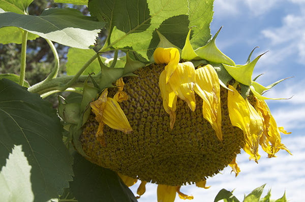 sunflower_giant done