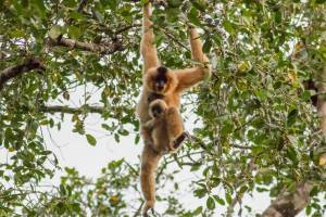 Mother and Baby Gibbon