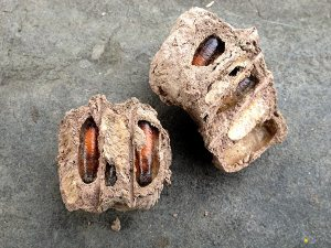 photo of Mud cocoon harboring wasp larvae