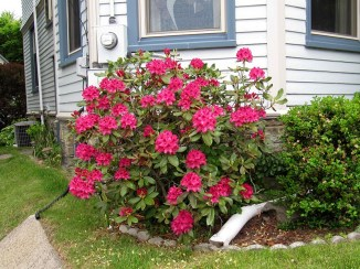 IMG_5591-rhododendron