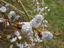 IMG_5731-pussy-willow