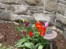 IMG_5796-tulips