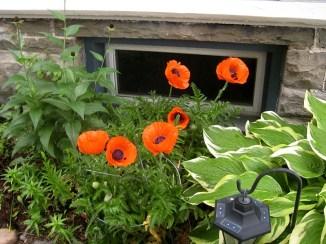 IMG_5917-poppies