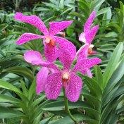 Singapore Botanic Gardens - Orchid - Pink