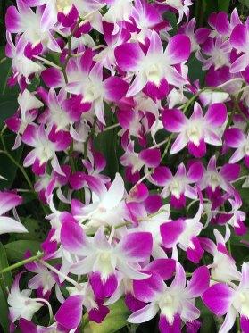 Singapore Botanic Gardens - Orchid - Violet & White