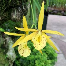 Singapore Botanic Gardens - Orchids - Yellow with Red Dots and Horn
