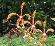 Singapore Botanic Gardens - Orchids - Yellow with Red Dots