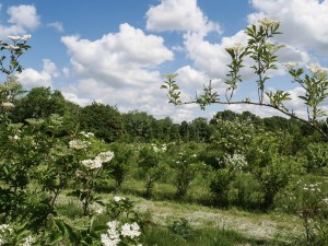 Elderflower in the field