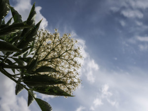 Photograph of elderflower on Gibson's organic farm
