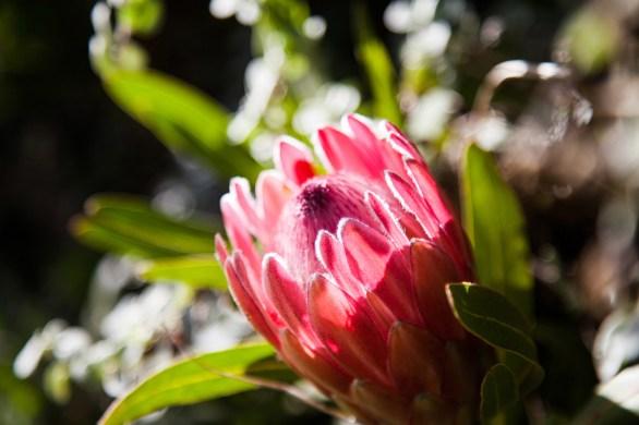 Protea (1)