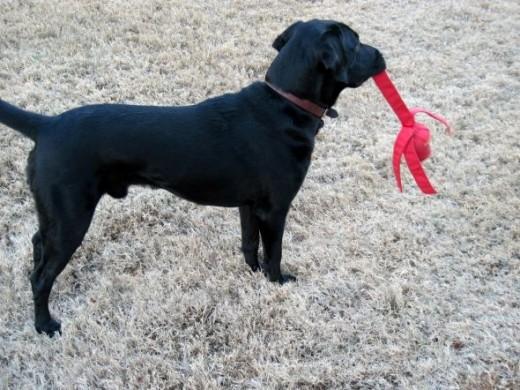 labrador retriever and wubba
