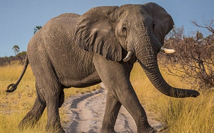 Adopt An African Elephant Symbolic Animal Adoptions From WWF
