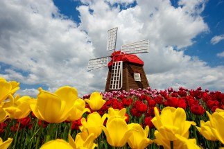 windmill-and-tulips