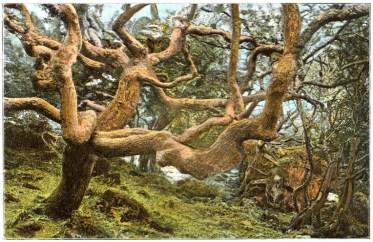 Historic photograph of trees on the lower landslip