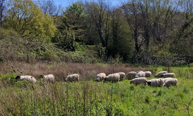 We want to graze the new meadow! These sheep were in the meadow earlier this year for a trial.